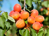 JLP Food Processing - Apricots