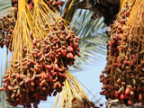 JLP Food Processing - Dates